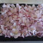 八重桜フレッシュ