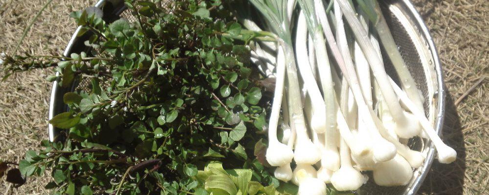 里山の天然山菜や野草